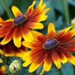 Однолетние цветы на срезку для букетов и композиций 5