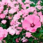 Однолетние цветы на срезку для букетов и композиций 6