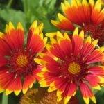 Однолетние цветы на срезку для букетов и композиций 7