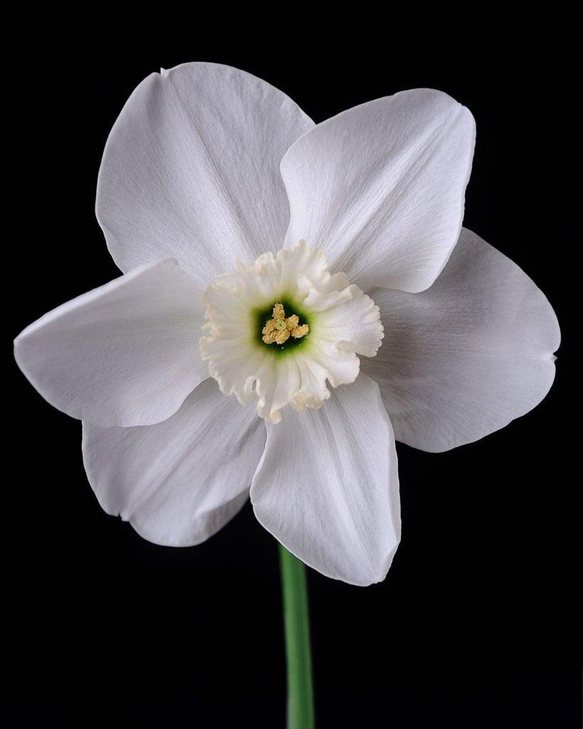 Нарцисс (Narcissus) 5
