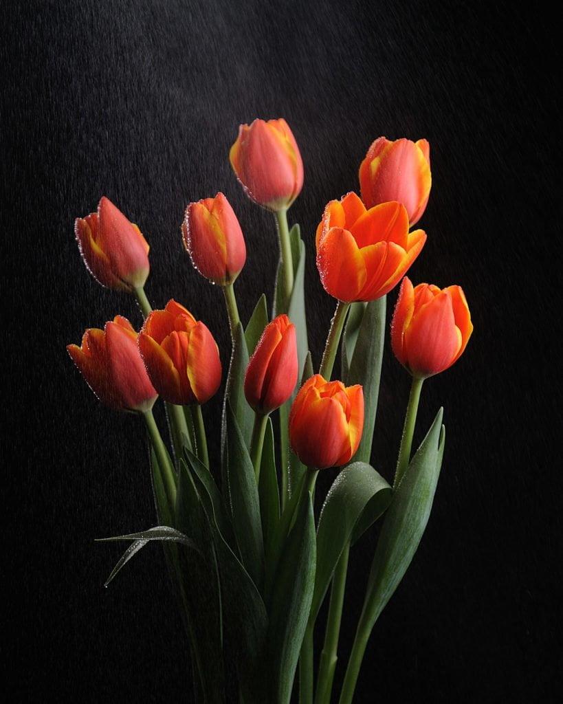 Тюльпан (Tulip) 3