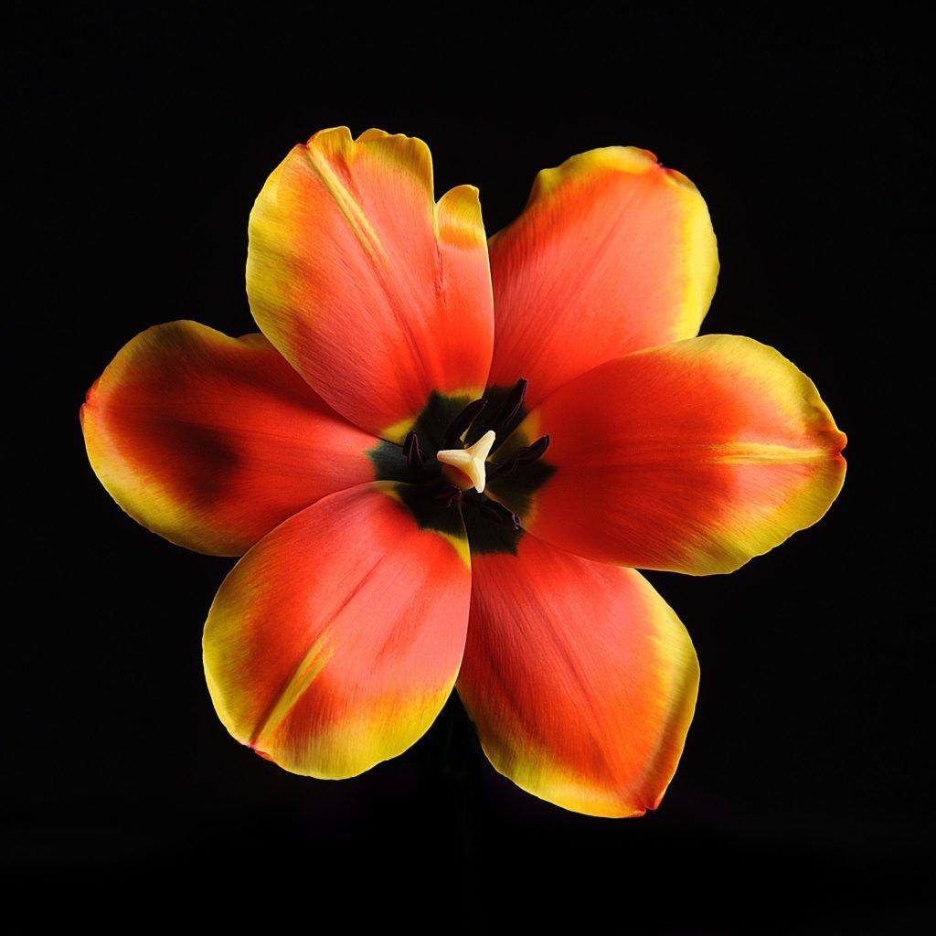 Тюльпан (Tulip) 2