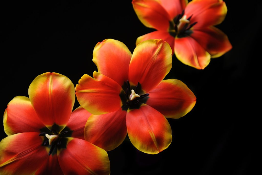 Тюльпан (Tulip) 1